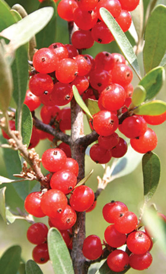 Buffaloberry