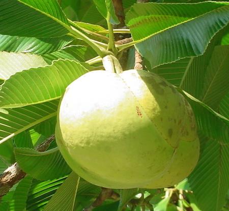 Chalta Fruit