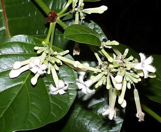 Cinchona herb