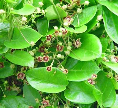 Ipecacuanha Herb