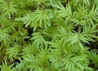 Peru Herb