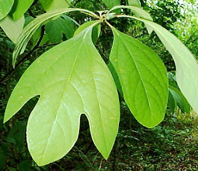 Sassafras Herb