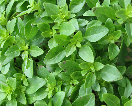 Boxwood Herb