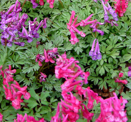 Corydalis Herb