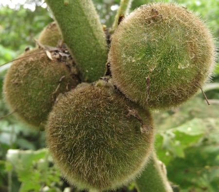 Naranjilla Fruit