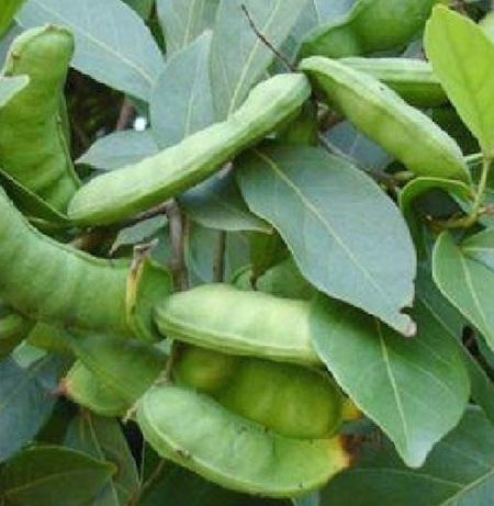 Pacay Fruit