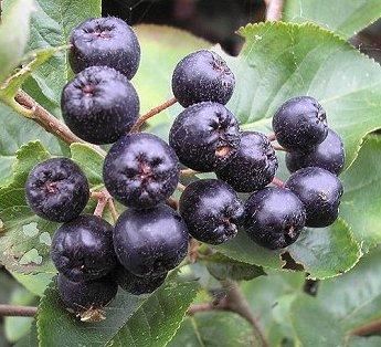 choke berries