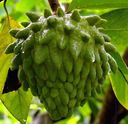 Atemoya Fruit