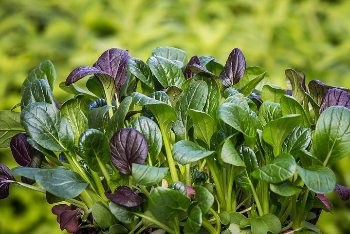 spinach-2310134__480