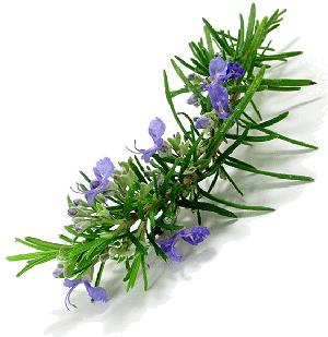 Rosemary_plant