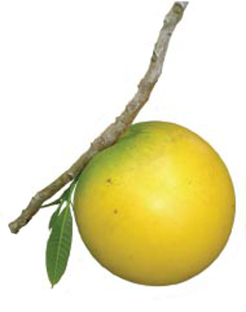 Abiu Fruit