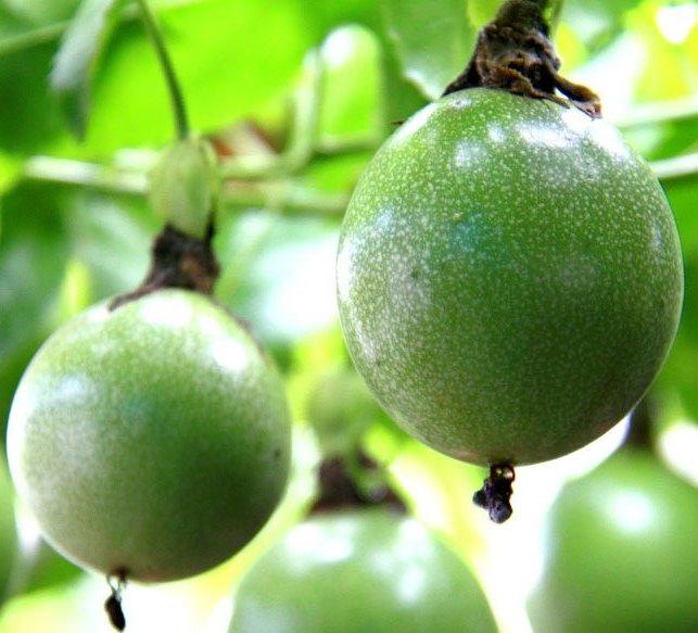 Arhat Fruit