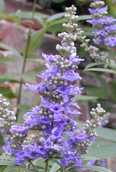 Chasteberry Herb