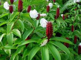 Costus Herb