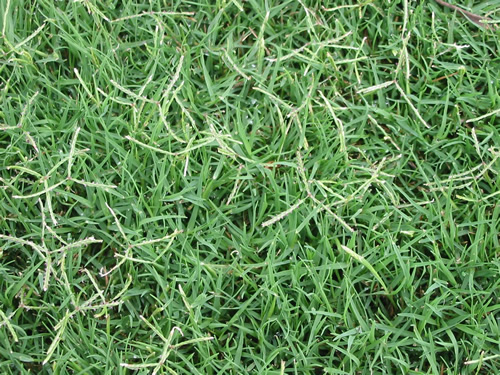 how to kill kikuyu grass naturally