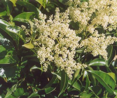 Glossy Privet Herb
