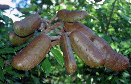 Guapinol Fruit