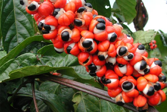 Guarana Herb