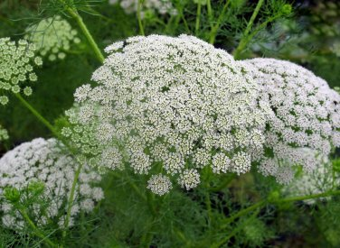 Khella Herb