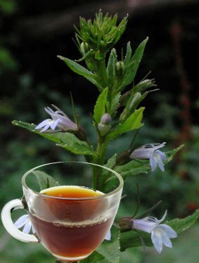 Lobelia Herb Tea