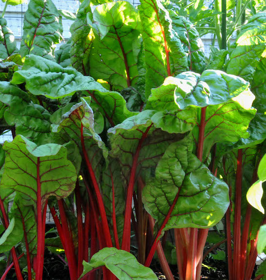 Rhubarb vegetable