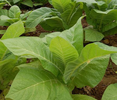 Tobacco Herb