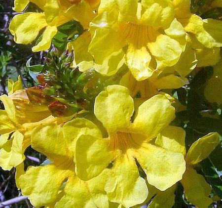 Trumpet Tree Herb