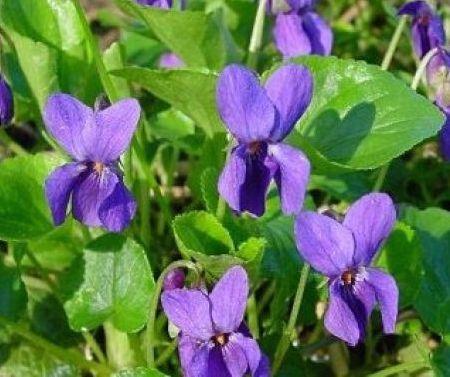 Violet Herb