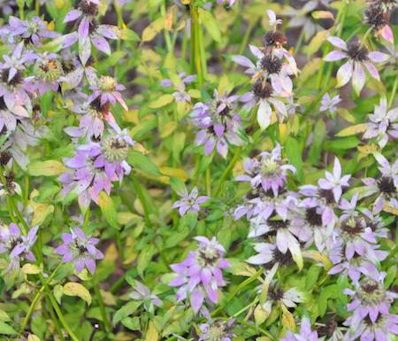 Horsemint Herb