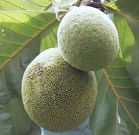 Marang Fruit