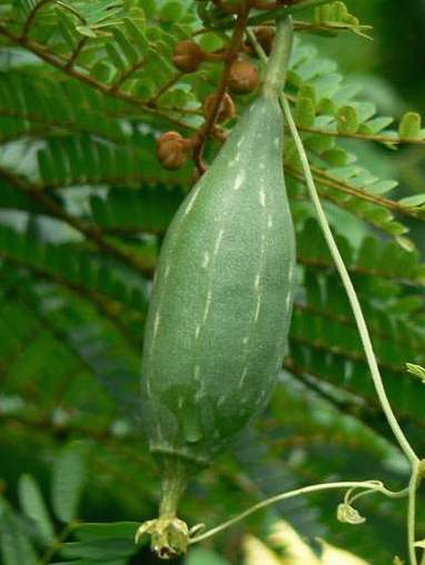 Luffa Fruit