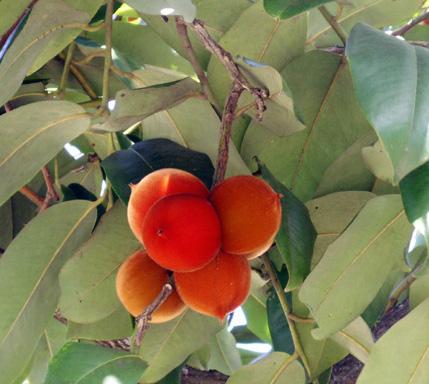 Mabolo Fruit