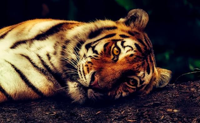 Nice-looking-Tiger-2530158