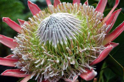 Protea-flower1