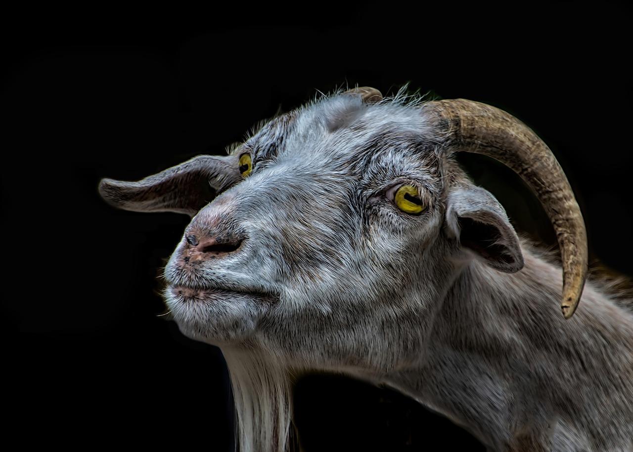 goat-3180258_1280