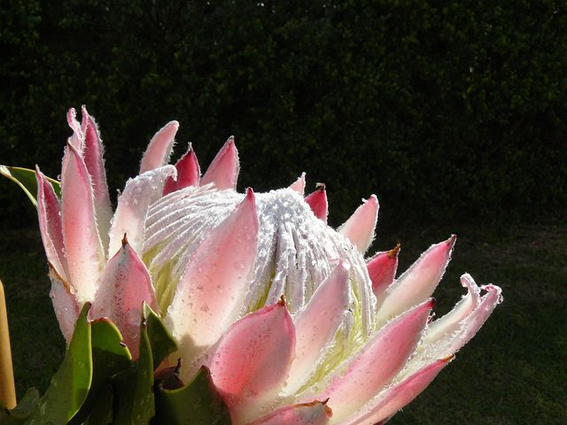 Protea Flower, Pink