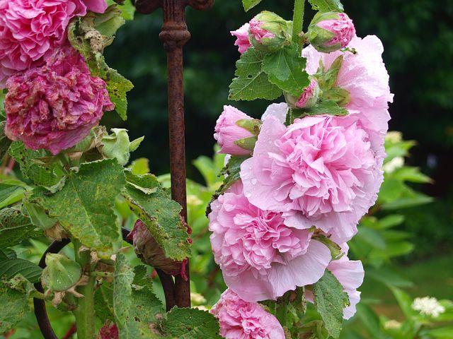 stock-rose-2538578__480