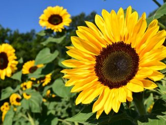 sunflower-1627193__480