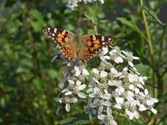 american-lady-butterfly-2783227__480