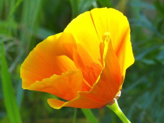 California Poppy1