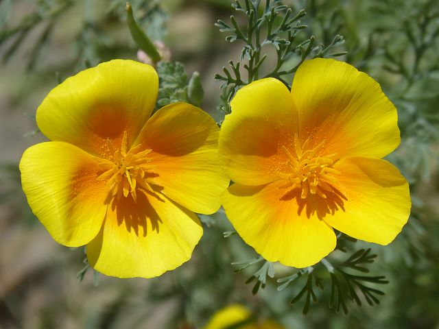 California Poppy2