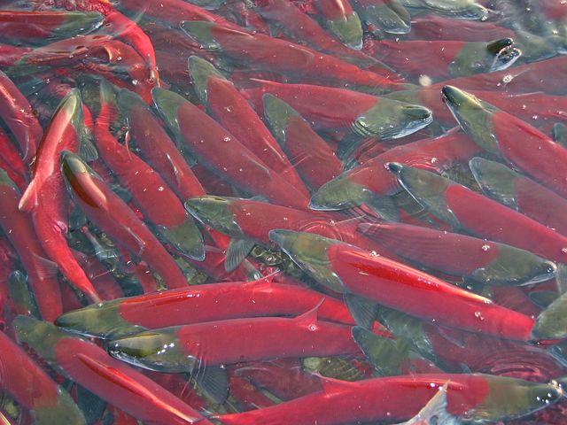 fish-2527770__480