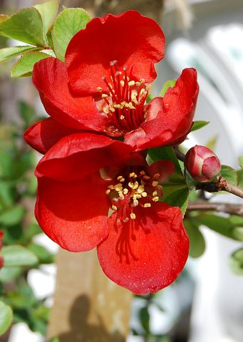 2 Beautiful Flowering quince