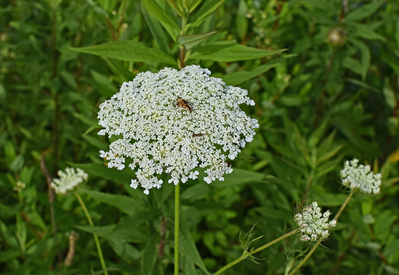 Aueen Annes Flower lace With insect