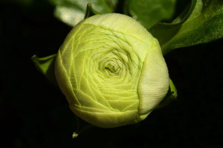 Green Ranunculus Flower