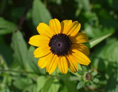 wild-black-eyed-susan-2660168__480